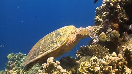 reef life : Turtle on a coral reef When eating