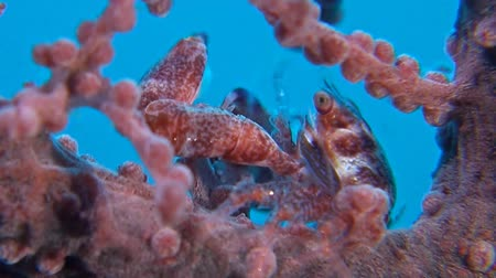 seahorse : Porcelain crab in a gorgonian coral. Porcellanidae Stock Footage