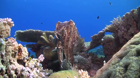 cuttlefish : Cuttlefish on a coral reef