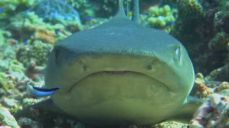 requins : Whitetip reef shark close up
