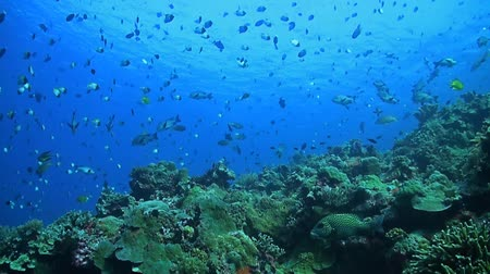 soldierfish : Coral reef with plenty of fish. Sweetlips, snapper, bannerfish, butterflyfish and many more. Stock Footage