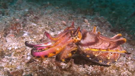 cuttlefish : Flamboyant cuttlefish moves over sandy bottom. In search of food. Stock Footage