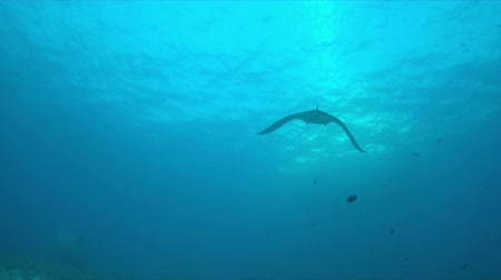 sualtı : Manta ray swims on a coral reef. 4k footage Stok Video