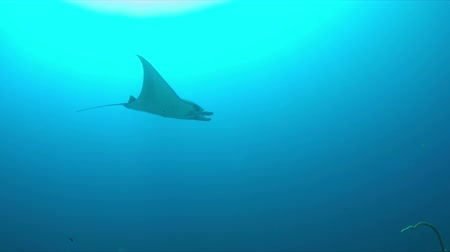 corrente : Manta ray swims in blue water with a light current. 4k footage Vídeos