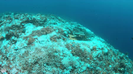 branqueamento : Coral bleaching occurs when sea surface increases.