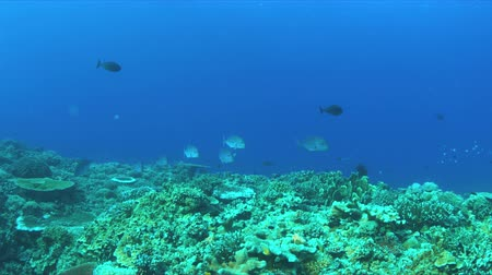 Coral reef with Bluefin Trevallies and plenty small fish. 4k footage Stock Footage