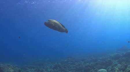 Napoleon on a coral reef. Humphead wrasse. 4k footage