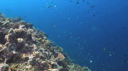 Edge of a coral reef with plenty fish. 4k footage