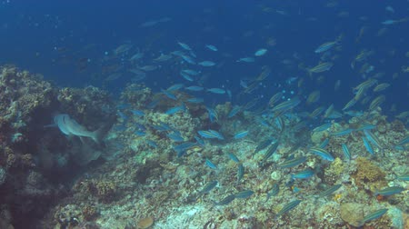 School of Double-lined Fusiliers and a Whitetip Reef shark on a slope of a colorful coral reef. 4k footage Stock Footage