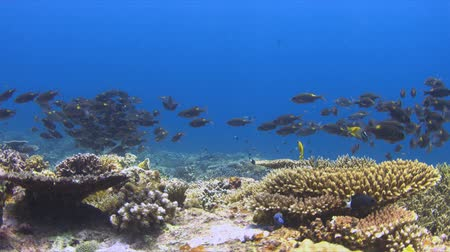 Colorful coral reef with a school of striped large-eye breams. 4k footage Stock Footage