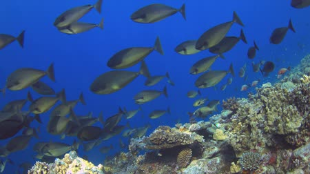 A school of unicornfish on a coral reef. 4k footage