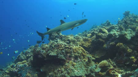 Whitetip reef with plenty of fish. 4k footage Stock Footage