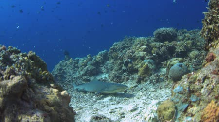 Whitetip reef shark on a coral reef. 4k footage
