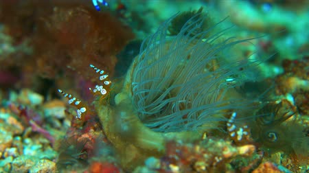 coral triangle : Squat Shrimp on a Tube-dwelling Anemone Stock Footage