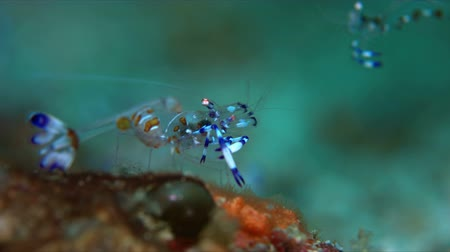 krewetki : Holthuis Anemone Shrimp - Ancylomenes holthuisi, Commensal Shrimp. Close up