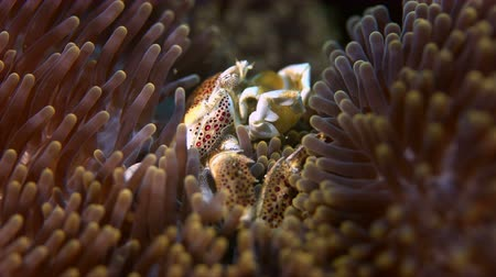 biodiverzitás : Spotted Porcelain Crab in a sea anemone. Porcellanidae, Neoptrolisthes maculatus. Close up