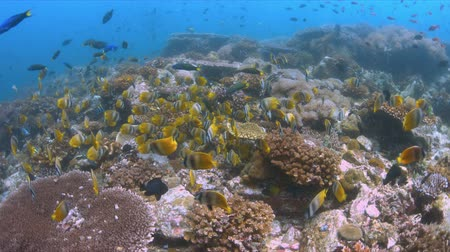 School of Butterflyfish on a coral reef. Many Anthias, Damselfishes and Crecery Wrasses around 4k footage Stock Footage