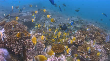 coral triangle : School of Butterflyfish on a coral reef. Many Anthias, Damselfishes and Crecery Wrasses around 4k footage Stock Footage