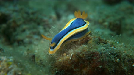 Dorid Nudibranch. Chromodorididae, Chromodoris annae. 4k footage Stock Footage