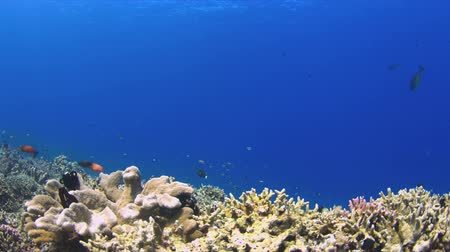 coral triangle : Colorful coral reef with plenty fish. 4k footage