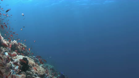 coral triangle : Coral reef with Anthias and Damselfishes. 4k footage