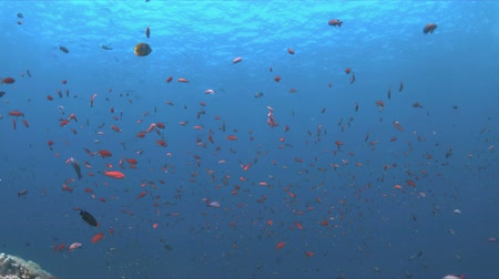 coral triangle : Anthias and Damselfishes in blue water. 4k Stock Footage
