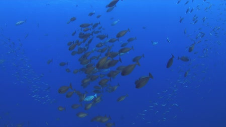 coral triangle : A school of unicornfish swimming on a coral reef, 4k footage