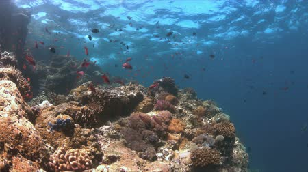 広角 : Colorful coral reef with plenty fish. 4k footage