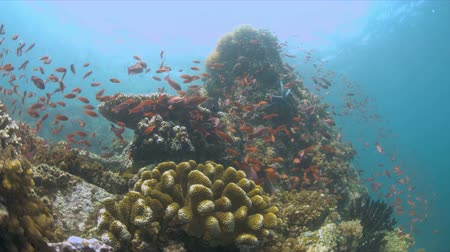 biodiversidade : Colorful coral reef with plenty fish. 4k footage