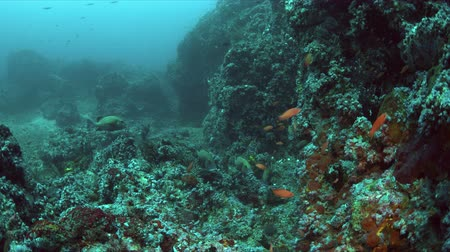 biodiverzitás : Canyons - coral reef with plenty fish. Sweetlips, Snapper and Anthias 4k footage