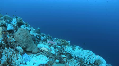 ortalama : Coral bleaching is the result of water heating. Above-average seawater is caused by global warming
