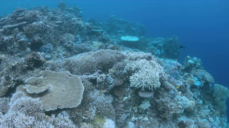 branqueamento : Bleached corals. Coral bleaching is the result of water heating. Above-average seawater is caused by global warming