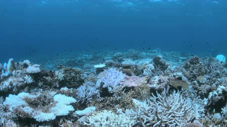 ortalama : Bleached corals. Coral bleaching is the result of water heating. Above-average seawater is caused by global warming