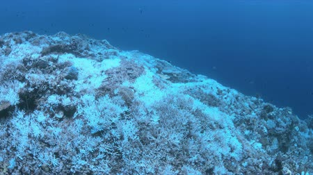 scuba diving : Bleached corals. Coral bleaching is the result of water heating. Above-average seawater is caused by global warming