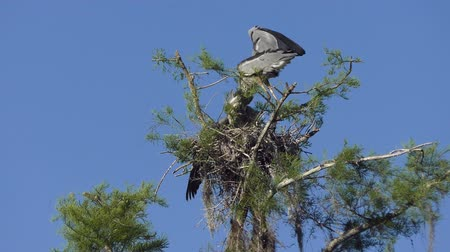 hnízdo : Great Blue Herons in the Nest. Adult and a Young One Dostupné videozáznamy