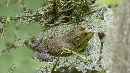toad : American Bullfrog in a swamp Stock Footage