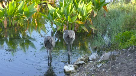 sandhill crane : A Pair of Sandhill Cranes in the water Stock Footage