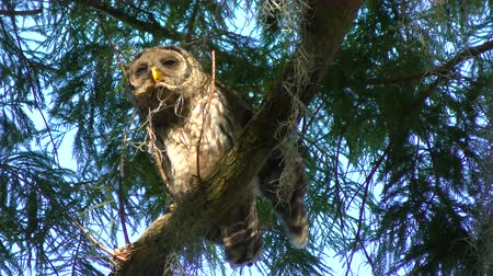 mohás : Young Barred Owl Perches on a Branch