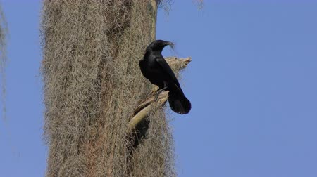 corvo : American Crow collecting moss for nest building.
