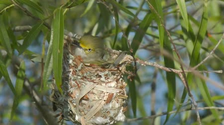 ave canora : White-eyed Vireo in a nest