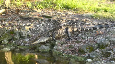 alligatore : Piccolo American Alligator Walking