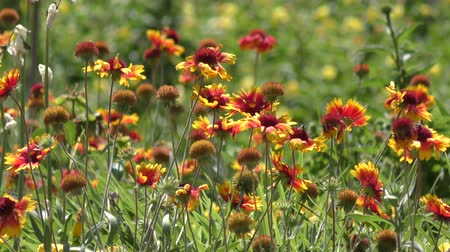 yabanarısı : Gaillardia flowers on a field