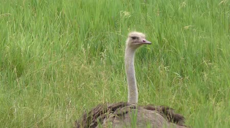 pštros : ostrich resting in the grass