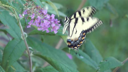 tiger butterfly : Eastern tiger swallowtail butterfly