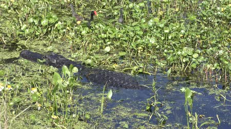 pantanal : American Alligator and birds in a swamp Stock Footage