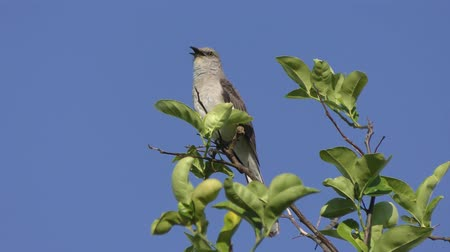 ave canora : Northern Mockingbird singing on a top of tree