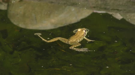 ropucha : common water frog in a pond