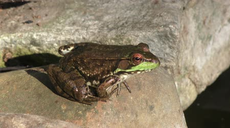 ropucha : Green water frog sitting on a rock near pond