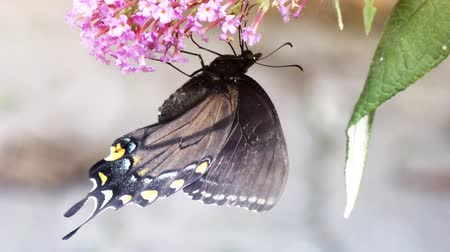 owady : Eastern Black Swallowtail Butterfly feeds on pink flowers