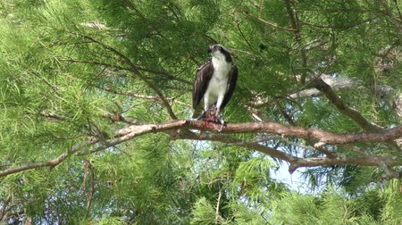 sas : Osprey feeds on fish in Florida wetlands Stock mozgókép